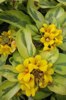 /Images/johnsonnursery/product-images/Lysimachia Walkabout Sunset061013_nzpmk6m5t.jpg