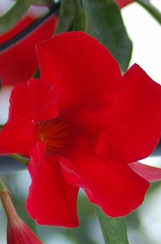 /Images/johnsonnursery/product-images/Mandevilla Sun Parasol Red Emperor_hjx7bukk1.jpg