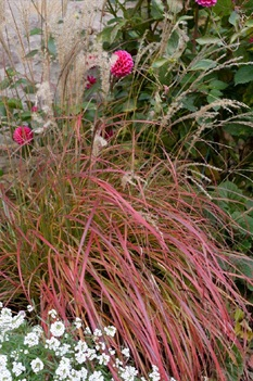 /Images/johnsonnursery/product-images/Miscanthus Little Miss_we722jd1v.jpg