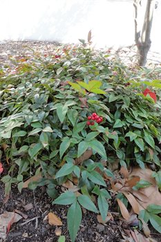 /Images/johnsonnursery/product-images/Nandina Harbor Belle021613_uxttip139.jpg