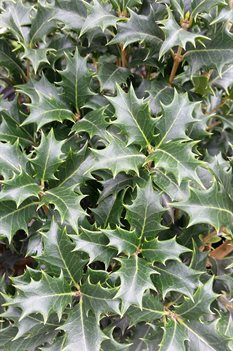 /Images/johnsonnursery/product-images/Osmanthus Gulftide062816_m9oqz3mut.jpg