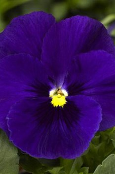 /Images/johnsonnursery/product-images/Pansy Delta Premium Deep Blue_qd6pa14dp.jpg
