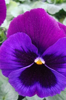 /Images/johnsonnursery/product-images/Pansy Delta Premium Neon Violet_lfsagerm1.jpg