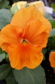 /Images/johnsonnursery/product-images/Pansy Delta Premium Pure Orange2092116_alg1kvr8t.jpg