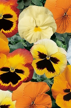 /Images/johnsonnursery/product-images/Pansy Delta Pumpkin Pie Mix_0u81ctan2.jpg