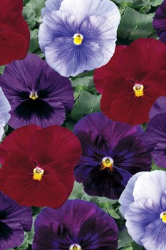 /Images/johnsonnursery/product-images/Pansy_Delta_Berry_Tart_Mix_Bloom_14027_fvztv4wf2.jpg