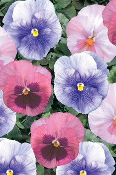 /Images/johnsonnursery/product-images/Pansy_Delta_Cotton_Candy_Mix_Bloom_14030_bbg7748p7.jpg