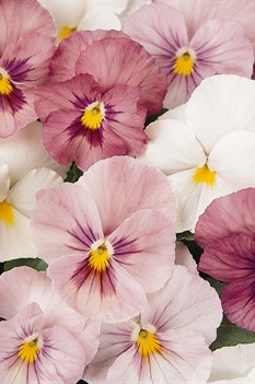 /Images/johnsonnursery/product-images/Pansy_Panola_Pink_Shade_Bloom_6836_0hxf3ovs1.jpg