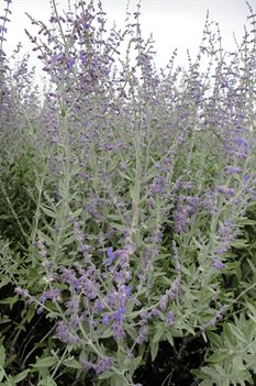 /Images/johnsonnursery/product-images/Perovskia Little Spire2101813_edc46435c.jpg