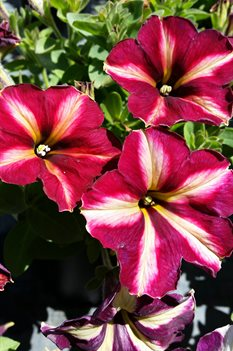 /Images/johnsonnursery/product-images/Petunia Cha Ching Cherry2041316_rw64x1g9t.jpg