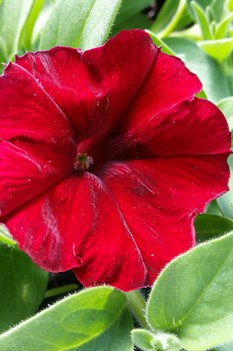 /Images/johnsonnursery/product-images/Petunia Easy Wave Red Velour041416_qzmxk5m7i.jpg