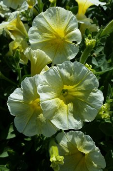 /Images/johnsonnursery/product-images/Petunia Easy Wave Yellow041117_0macjaqts.jpg