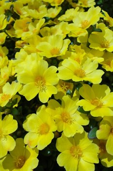 /Images/johnsonnursery/product-images/Portulaca Pazazz Vivid Yellow_hviihwpls.jpg