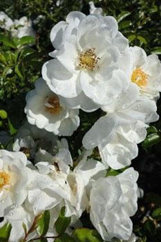 /Images/johnsonnursery/product-images/Rosa Balconia Innocensia2091813_r3u3adcou.jpg