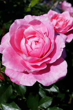 /Images/johnsonnursery/product-images/Rosa Sunrosa Fragrant Pink2041416_6qsq08gsc.jpg