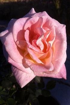 /Images/johnsonnursery/product-images/Rose-Brindabella-Glow-002-website_ier3l25hk.jpg