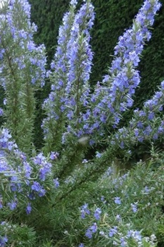 /Images/johnsonnursery/product-images/Rosemary Tuscan Blue 2_b722fz0hw.jpg