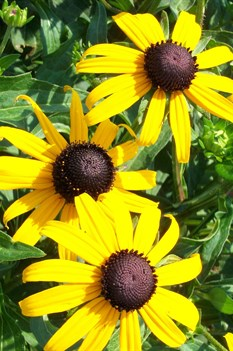/Images/johnsonnursery/product-images/Rudbeckia Goldsturm062301_isg8v8zsk.jpg