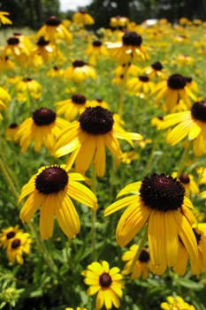 /Images/johnsonnursery/product-images/Rudbeckia Viettes Little Suzy2071513_9od4ucqqr.jpg