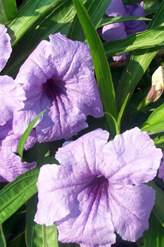 /Images/johnsonnursery/product-images/Ruellia Katie063000_01g2kqbeo.jpg