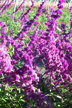 /Images/johnsonnursery/product-images/Salvia All Purple101703_7xzozvtga.jpg