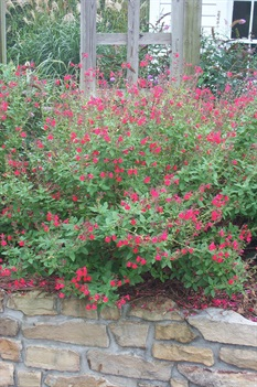 /Images/johnsonnursery/product-images/Salvia Maraschino102504_c8feao4ka.jpg