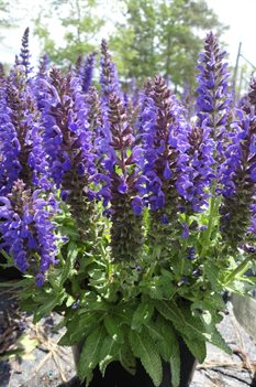 /Images/johnsonnursery/product-images/Salvia Marcus050713_hfq80aj3l.jpg