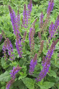 /Images/johnsonnursery/product-images/Salvia May Night2041002_4tkmj81ta.jpg