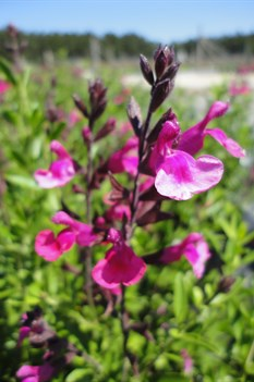 /Images/johnsonnursery/product-images/Salvia Rose Pink051413_u66s54pxe.jpg