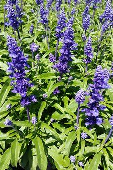 /Images/johnsonnursery/product-images/Salvia Velocity Blue2041316_w6xpn51st.jpg
