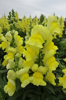 /Images/johnsonnursery/product-images/Snapdragon Sonnet Yellow101813_a2cl6s3zj.jpg