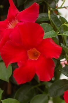 /Images/johnsonnursery/product-images/Sundenia-Crimson-blooms-2_fgco2cxjr.jpg
