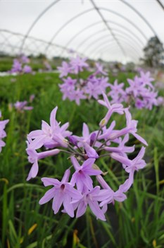 /Images/johnsonnursery/product-images/Tulbaghia_violacea050213_7if0ct6ie.jpg