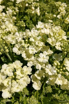 /Images/johnsonnursery/product-images/Verbena Lanai Compact Lime Green043018_a8bwhc2qa.jpg
