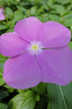 /Images/johnsonnursery/product-images/Vinca Cora Deep Lavender050713_wjb3dsctz.jpg