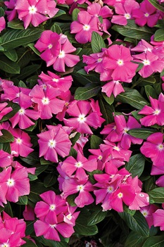/Images/johnsonnursery/product-images/Vinca Cora Pink_a7hsgfgza.jpg