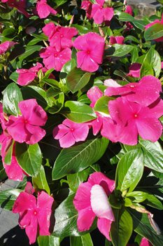 /Images/johnsonnursery/product-images/Vinca Cora Punch061213_ncbl381rl.jpg