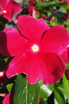 /Images/johnsonnursery/product-images/Vinca Cora Red2061213_e6b9ajq16.jpg