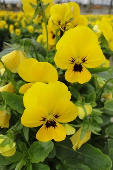 /Images/johnsonnursery/product-images/Viola Sorbet XP Yellow Blotch101613_gok15tkxf.jpg
