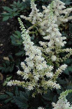 /Images/johnsonnursery/product-images/Visions in White Astilbe_3ne9pihto.jpg