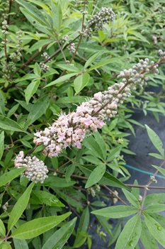 /Images/johnsonnursery/product-images/Vitex Daytona Heat Danica Pink2071116_p3tki60o2.jpg
