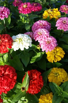 /Images/johnsonnursery/product-images/Zinnia Magellan Mix2091416_xg20uktn0.jpg