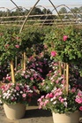 /Images/johnsonnursery/Products/Annuals/Mxd_Pltr_18_Db_Pink_Knock_Out_for_web_2.JPG