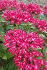 /Images/johnsonnursery/Products/Annuals/Pentas_Starcluster_Red.jpg