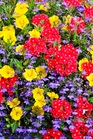 /Images/johnsonnursery/Products/Annuals/Santa_Belle_-_PW_2.jpg