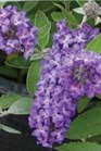 /Images/johnsonnursery/Products/Woodies/Buddleia_Flutterby_Petite_Blue_Heaven_-_Ball.jpg