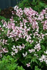 /Images/johnsonnursery/Products/Woodies/Deutzia_yuki_cherry_blossom.jpg