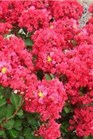 /Images/johnsonnursery/Products/Woodies/L__Enduring_Summer_Red_-_Ball.jpg