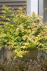 /Images/johnsonnursery/product-images/Abelia Bronze Anniversary_6eqh2nvqb.jpg