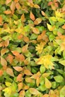 /Images/johnsonnursery/product-images/Abelia Funshine_dm2vco38w.jpg